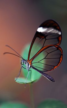 The Glasswing from central America. The Glasswing Butterfly Beautiful Creatures, Animals Beautiful, Butterfly Species, Butterfly Art, Dragonfly Insect, Moth Caterpillar, Beautiful Butterflies, Wings, Painting
