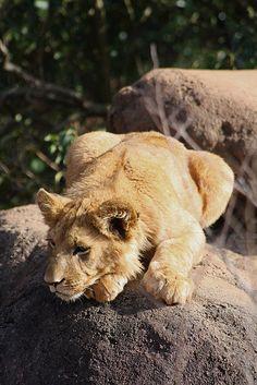 *Lion Cub (by lazlokitty)
