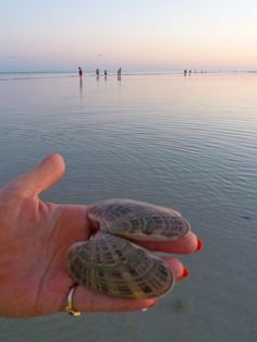 Sunray Venus, Blind Pass near Sanibel island Costa, Captiva Island, Cape Coral, Shell Art, Gulf Of Mexico, Clam, Snails, My Happy Place, Seashells