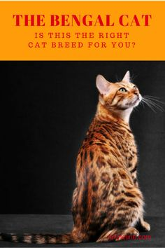 Bengal cats are beautiful, but need an experienced cat guardian. Find out more about them and see if you're up to the task #cats #catbreeds #bengalcats