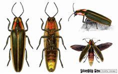 Vagalume anatomia Firefly anatomy