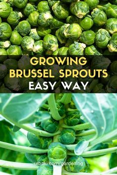 Growing Brussels sprouts can sometimes be challenging, in today's video I break down how to grow Brussel sprouts including how to encourage your sprouts to grow bigger and faster when to top a plant, fertilizing schedule, and best times to harvest. Order The Family Garden Plan: Raise a Year's Worth of Healthy and Sustainable Food and get our bonuses, including the soil amendment guide. #urbakigardening #gardening #growbrusselssprouts #brusselssprouts #easyvegetables #vegetables
