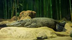Among the most highly endangered crocodilians in the world, the Siamese crocodile makes their home in the Mekong River basin and the wetlands in Cambodia. They prefer slow-moving streams and rivers, lakes, seasonal oxbow lakes, marshes, and swamplands. Sadly, Siamese crocs are listed as Critically Endangered by the IUCN, with fewer than 1,000 estimated individuals in the wild. #Asia #Cambodia #croc #crocodile #crocodilian #egg #MekongRiver #predator #reptile #Siamese #Siamesecrocodile