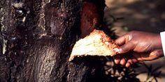 Artenlexikon: Afrikanisches Stinkholz (Prunus africana) - WWF Deutschland #Afrikanisches Stinkholz #Porträt Afrikanisches Stinkholz #Lebensraum Afrikanisches Stinkholz #Biologie Afrikanisches Stinkholz - Tiere Arten - Tiere Arten