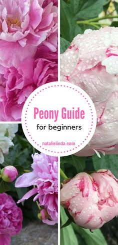 This simple peony care guide teaches beginners to plant and grow peonies in their own back or front yards! It's simple and to the point! Peony Care, Peony Bush, Growing Peonies, Caring For Peonies, How To Grow Peonies, Comment Planter, Peonies Garden, Beautiful Flowers Garden, Garden Care