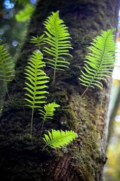 Grow Ferns From Clippings Fern propagation Shade Garden, Garden Plants, House Plants, Gemüseanbau In Kübeln, Woodland Garden, All Nature, Shade Plants, Air Plants, Potted Plants