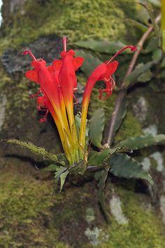 Aeschynanthus speciosus by Polylepis, via Flickr