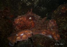 Jody Lynn Clark - Giant Pacific Octopus at Hood Canal, WA
