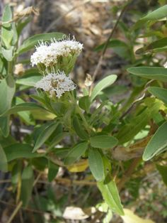 Stevia lemmonii. Lemmon Candy-leaf. Native  deciduous perennial shrub. A Forest Service Species of Concern. Shortlived but beautiful plant. Attracts pollinators and butterflies. Part shade.