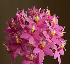 Epidendrum Pacific Sunset photo IMG_2628.jpg