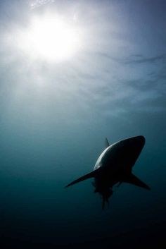 Shark light Paul Cowel