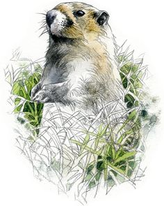Marmot, impression de nature olympique aquarelle - art animalier - des oeuvres d'art originales