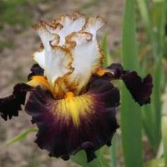 TB Iris Superhero - Ghio