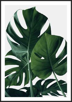 Fine Art prints – Monstera Poster – Insplendor - paint and art Plant Painting, Plant Art, Free Art Prints, Wall Prints, Poster Prints, Art Posters, Movie Posters, Art Exhibition Posters, Museum Exhibition