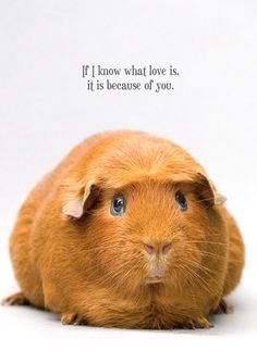 Guinea pig with text - 'If I know what love is, it is because of you'. http://more.flyingtwigs.com/greeting-cards/view/because-of-you
