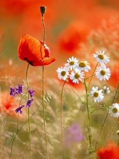 Prairie flowers with daisies and poppies