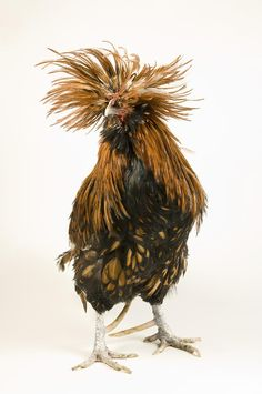 A Golden Polish Chicken Bad hair day!  Oh my, what a hoot!