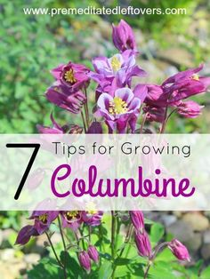 Tips for Growing Columbine in your flower garden - Columbine is a hardy perennial plant that comes in a variety of colored blooms. Growing this beautiful flower is easy with these helpful gardening tips. Gardening Tips for Growing Columbine Perrenial Flowers, Flowers Perennials, Planting Flowers, Flower Gardening, Sun Perrenials, Partial Shade Perennials, Potted Flowers, Planting Bulbs, Growing Flowers
