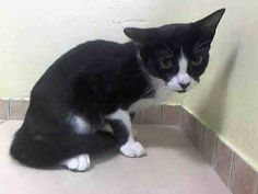 TO BE DESTROYED 8/20/14 ** BABY ALERT! VERY FRIENDLY KITTEN!! Dusya was found as a stray and at the time of the assessment she interacts with the Assessor, solicits attention, is easy to handle and tolerates all petting ** Brooklyn Center  My name is DUSYA. My Animal ID # is A1009906.  I am a female black and white domestic sh mix. The shelter thinks I am about 6 MONTHS old.   I came in the shelter as a STRAY on 08/09/2014 from NY 11208