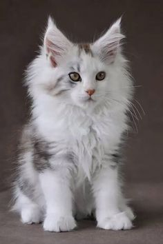 Maine Coon Kittens & Cats are so adorable! Visit our post to find out how you ca… Maine Coon Kittens & Cats are so adorable! Visit our post to find out how you can adopt this loving breed of cat and have a cute companion! Pretty Cats, Beautiful Cats, Animals Beautiful, Cute Cats And Kittens, Kittens Cutest, Cute Kitten Videos, Funny Kittens, Chat Bizarre, Maine Coon Kittens
