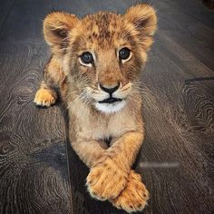 lion cub crossing his paws Big Cats, Cats And Kittens, Cute Cats, Beautiful Cats, Animals Beautiful, Beautiful Images, Cute Baby Animals, Animals And Pets, Wild Animals