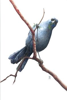 This is Kahurangi (Kahu), one of the iconic birds at Pukaha Mt. Bruce, New Zealand. She is a North Island Kokako, which are incredibly rare and shy birds. She was imprinted when she was brought in with an injury and loves humans. For most people, it's the only chance they'll have a chance to see a kokako up close.  Cards available at Pukaha or at Wild Honey Art.