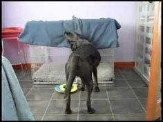 dog tucks himself in!  Too funny. haha  This reminds me of my black lab Carlie :-)