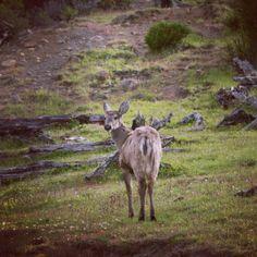Villa Ohiggins / Camino a Glaciar Mosco, huemul hembra, se diferencia por los cachos cortos