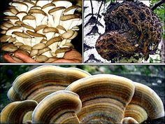 Oyster, chaga and polypore fungi:  Researchers from the world famous Vector Institute near Novosibirsk have developed three types of mushroom which can be successfully used in antiviral medicines.  Strains of these mushrooms demonstrated low toxicity and a strong antiviral effect' against influenza, smallpox and HIV.