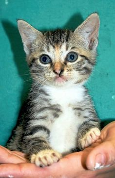 Meet Lemon, a Petfinder adoptable Domestic Short Hair Cat | Enterprise, AL | Lemon is a tabby female kitten. She is about 6 weeks old.Behavior and personalities are based on...