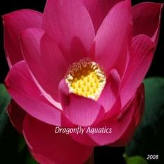 Red Scarf Hardy Lotus Pond Plant