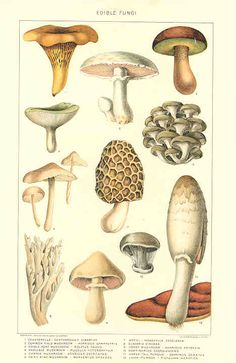 1909 Edible Mushroom Print - Vintage Antique Home Decor Book Plate Art Illustration for Framing 100 Years Old - 1903 Edible Mushroom Print - Growing Mushrooms, Wild Mushrooms, Stuffed Mushrooms, Botanical Drawings, Botanical Illustration, Botanical Prints, Mushroom Art, Mushroom Fungi, Mushroom Hunting