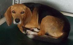 Boomer has ZERO Shares!!  BEYOND URGENT!! St. PAULS, NC - ROBESON COUNTY ANIMAL SHELTER Boomer ID #14-D0909 - Boomer is an approx. 1-2 year old Beagle mix. He is a small guy that is really laid back. He is quiet and loves to take his naps. He will get up and visit with you if he must, but, he hates to lose his beauty sleep. : )   https://www.facebook.com/photo.php?fbid=599798346772636&set=a.105732759512533.12437.100002274287551&type=1&relevant_count=1