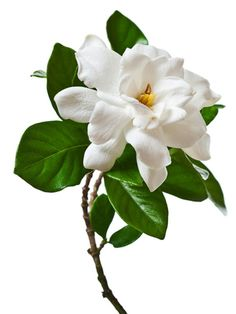 """Gardenias Loaded with fragrance, these elegant flowers signify purity and joy, and connote deep, old-fashioned love, says Gaffney. """"The man who buys these likely has a history with the woman he's buying them for."""" Because they're pricey and are sold as single blooms, they'll definitely make a statement on the holiday  Read more: Flower Meanings - Flower Symbolism - @Woman's Day"""