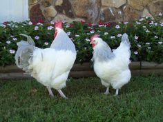 Coronation Sussex Chickens