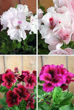 http://holmsundsblommor.blogspot.se/2011/04/engelska-pelargoner.html Engelsk pelargon