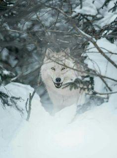 Lobo blanco.