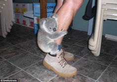Google 画像検索結果: https://images.nonexiste.net/popular/wp-content/uploads/2012/07/Picture-of-Baby-Koala-bear-holding-onto-his-keepers-leg.jpeg