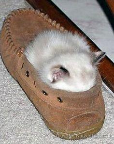 Lustige Katzenbilder und lustige Katzenfotos | muede-katzen-bilder | kaetzchen_im_schuh