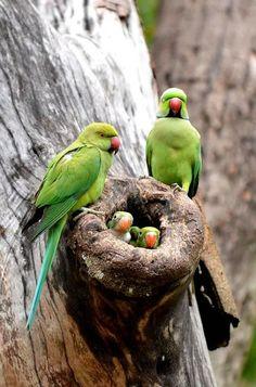 "عکس Couldn't identify specific cockatoos or parrot but nest and babies too good to pass ""A Girl"" pinner identifies them as Indian ring necks, a type of paraqueet. Thank you ""A Girl"""