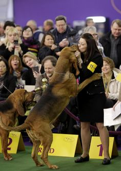2015 Westminster Dog Show Spoils to the winner A bloodhound named Flessner's International S'cess, or Nathan, kisses handler Heather Helmer after winning best of breed at the Westminster Kennel Club show in New York on Feb. Beagle, Bloodhound Dogs, Basset Hound, Basset Artesien Normand, Griffon Nivernais, Grand Basset Griffon Vendeen, Westminster Dog Show, Toy Fox Terriers, Group Of Dogs