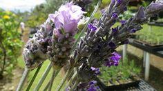 Lavender from Ali'i Kula Lavender Farm on Maui, HI