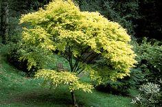 Acer palmatum Katsura, Spring color Specimen Trees, Acer Palmatum, Japanese Maple, Spring Colors, Herbs, Plants, Herb, Plant, Planets