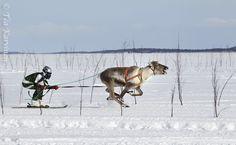 Finland, Reindeer, Camel, Animals, Animales, Animaux, Camels, Animal, Animais
