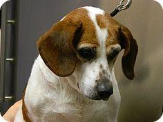 Haskell, NJ - Beagle Mix. Meet Beanie, a dog for adoption. http://www.adoptapet.com/pet/12505052-haskell-new-jersey-beagle-mix