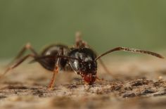 """little"" ant"