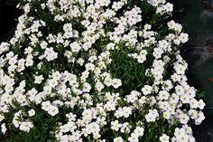 Mei/juni - Zandkruid (Arenaria montana)