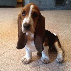 Rapunzel ain't got nothin' on you. | 38 Signs You're A Basset Hound