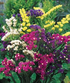 Statice, Mixed Bold Colors  Dense sprays of small, papery blooms on stiff stems. Easy annual. Attracts Butterflies