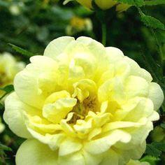 Viljaminkeltaruusu - Viherpeukalot Spring, Pop Up, Seasons, Drawings, Garden, Flowers, Plants, Pink, Garten